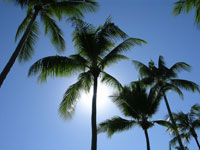 Palm Cove Palms